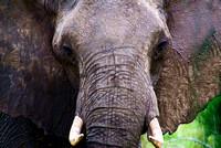 Miva Stock_2889 - Tanzania, Ngorongoro, Elephant, close up